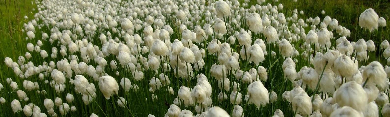 Arctic cotton2